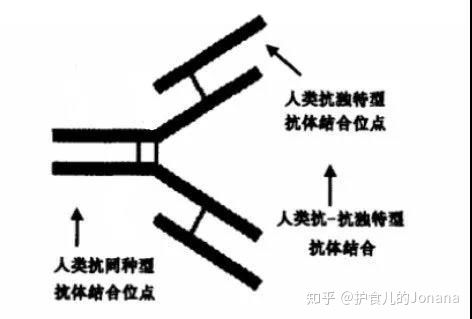 抗体世界-IgG型HAMAs结构、抗原结合位点示意图