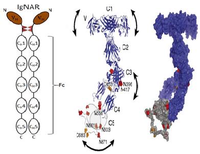 抗体世界-纳米抗体-骆驼抗体
