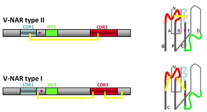 抗体世界-IgNAR抗体-鲨鱼抗体