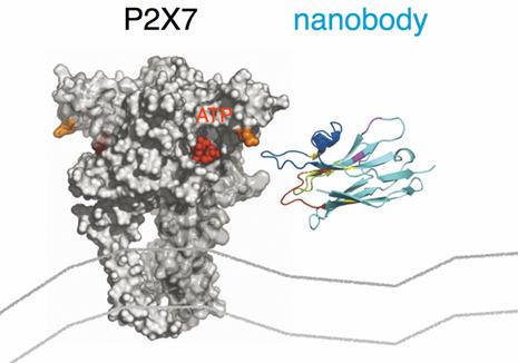 抗体世界-纳米抗体