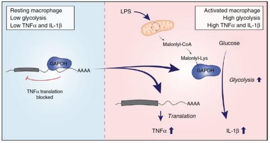 抗体世界-丙二酰化调节GAPDH与mRNA之间的结合促进炎症关键信号