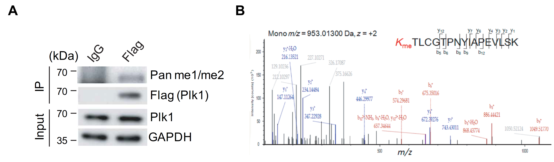 抗体世界-激酶Plk1甲基化修饰水平影响其在DNA损伤修复中的作用